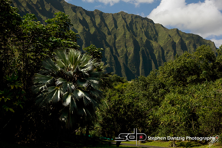 Koolau palm tree horizontal 10